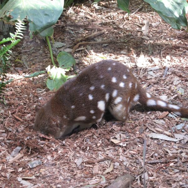 Spotted-Tail Quoll 2