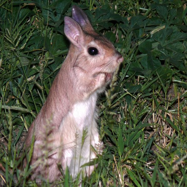 Spring Hare (Pedetes capensis)