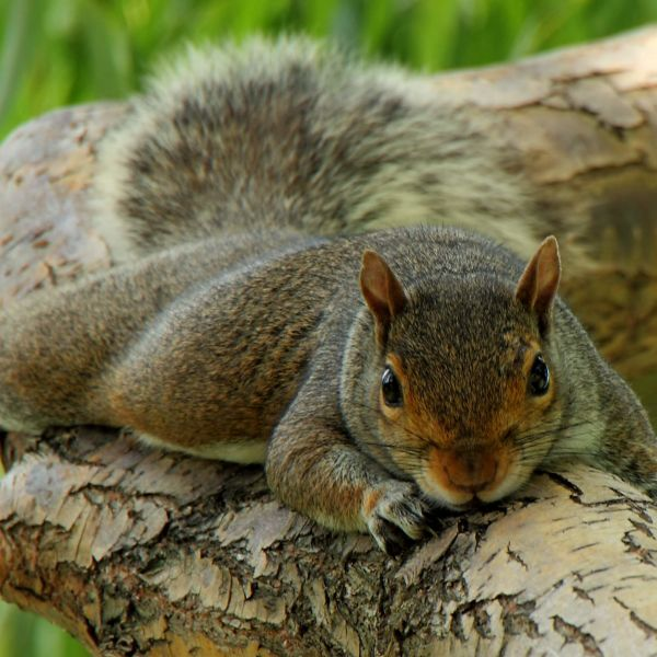 Squirrel Treehugger