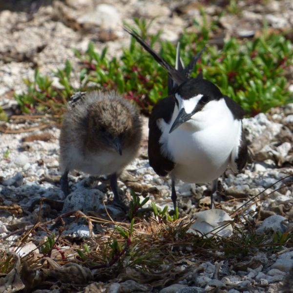 starr-170623-0794-Sesuvium_portulacastrum-Sooty_Tern_chick_and_adult-Spit_Island-Midway_Atoll