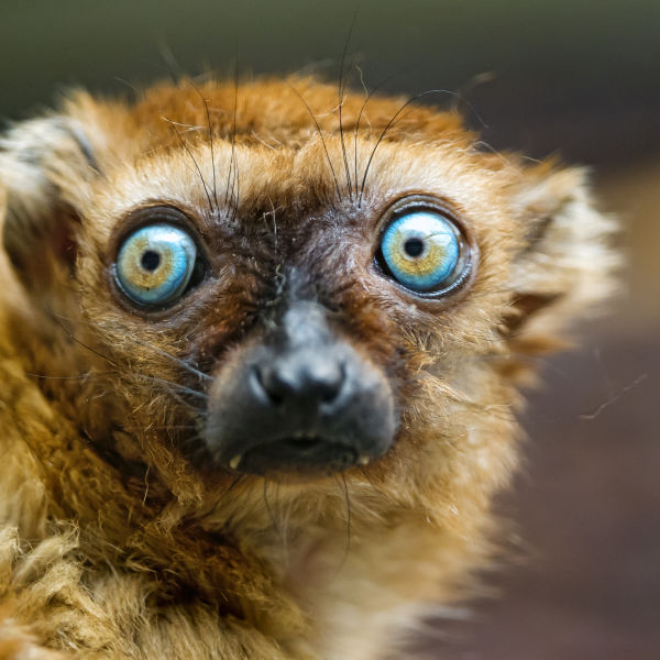 The eyes of the Sclater's lemur