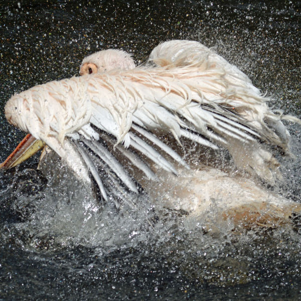 The great white pelican - Pelecanus onocrotalus (2)