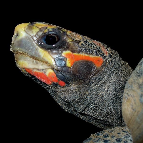 Red-Footed Tortoise photo