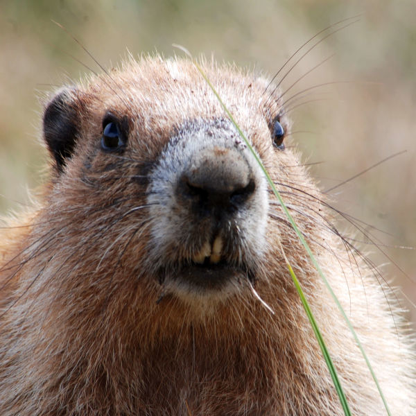 What a Lovely Marmot