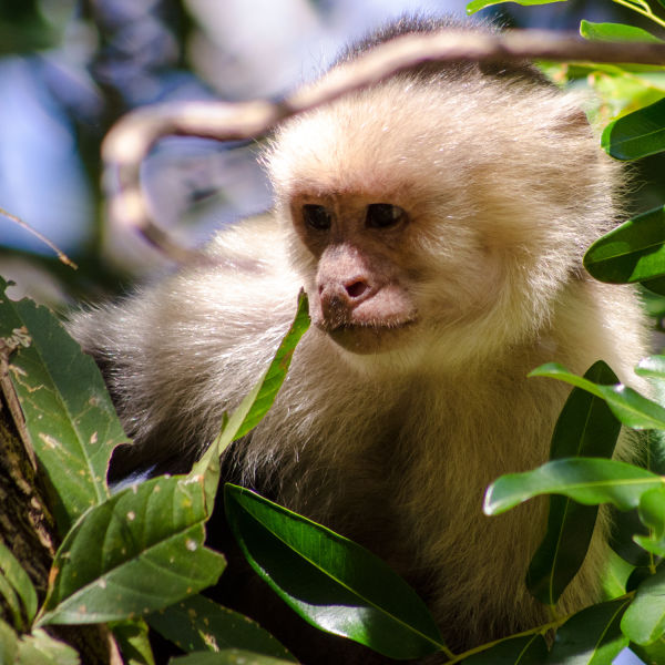 White-faced capuchin looks on, Santa Rosa, Bosque seco (dry forest), Guanacaste, Costa Rica
