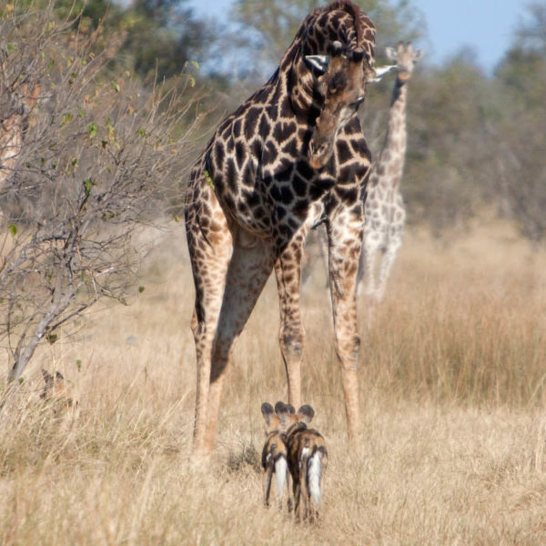 Wild dog and Giraffe, Moremi Game Reserve