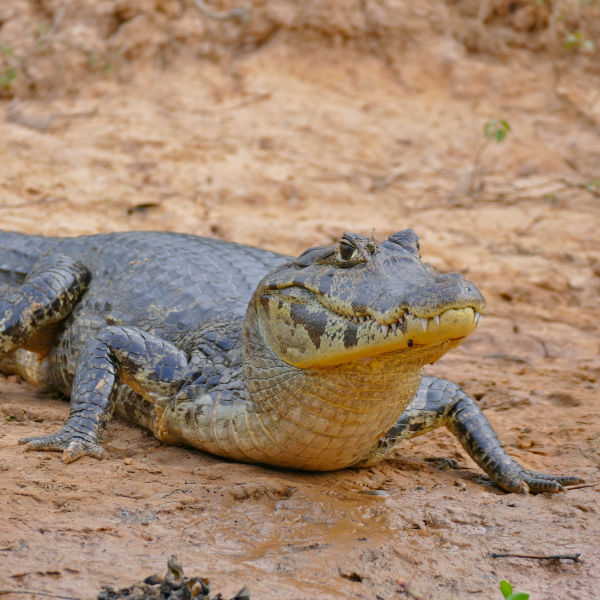 Yacare Caiman - Facts, Diet, Habitat & Pictures on
