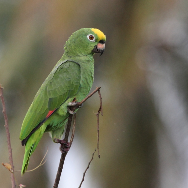 Yellow-crowned amazon Nariva