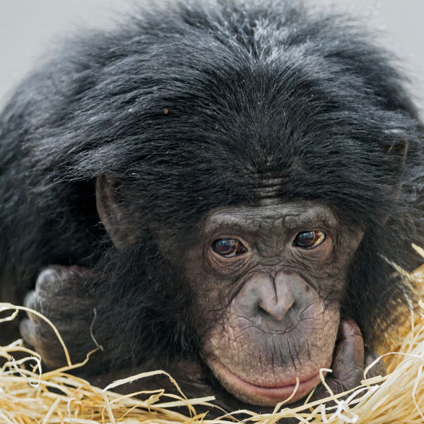 Young bonobo looking guilty
