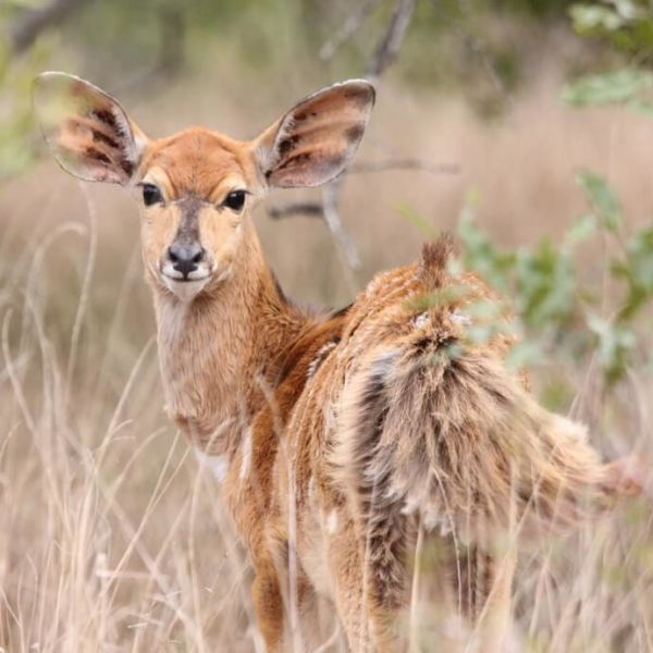 Young female Nyala, Tragelaphus angasi looking back from in the bushes and tall grass