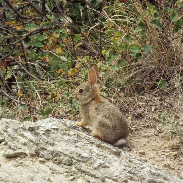 Young rabbit in brush