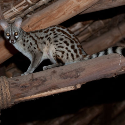 A female common genet in the dining room, Satao Camp
