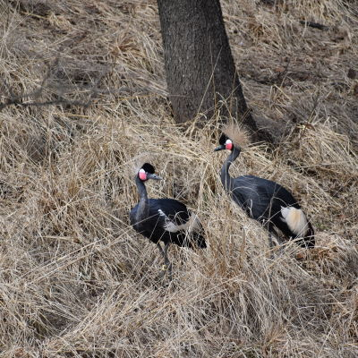 black crowned cranes facing each other