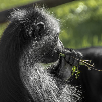 Colobus Monkey - Marwell Wildlife