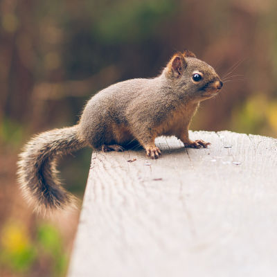 Douglas squirrel in Stanley Park