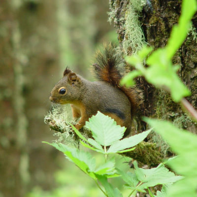 Douglas' Squirrel, Oregon