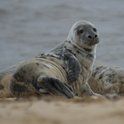 Grey Seal (Halichoeurus Grypus), Horsey Beach