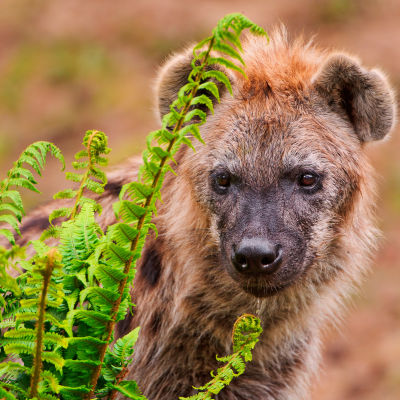 Hyena behind the plants
