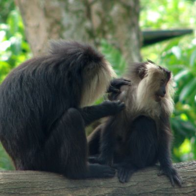 Lion-Tailed Macaque {macaca silenus}