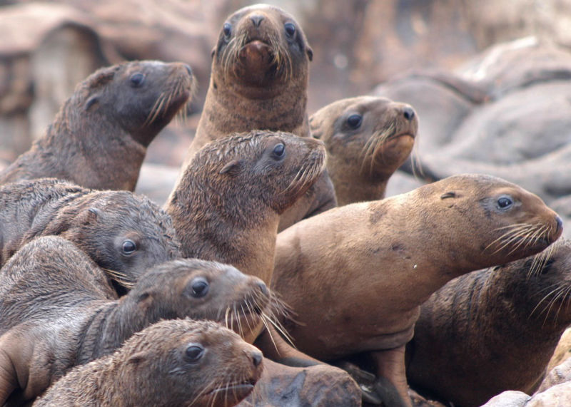 071203_steller_sea_lion_pups_rogue_reef_odfw