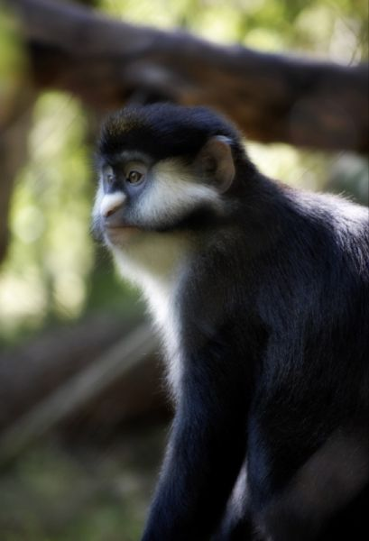 Red-Tailed Monkey photo