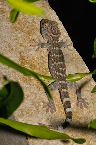 Tokay Gecko photo
