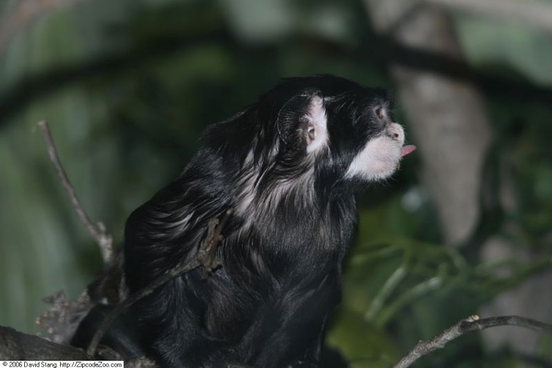 Moustached Tamarin photo