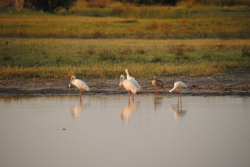 African Spoonbill photo
