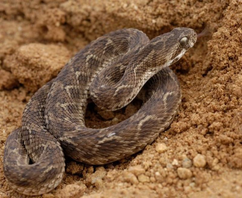 Indian Saw-Scaled Viper photo