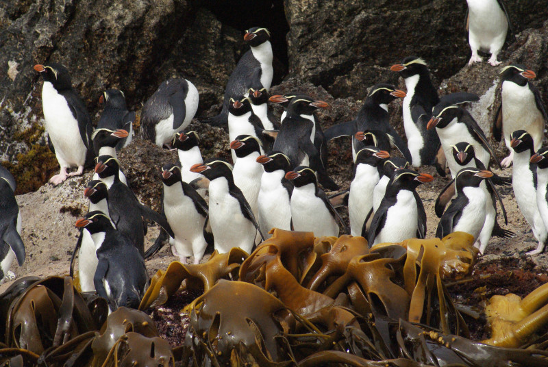 Snares Penguin photo