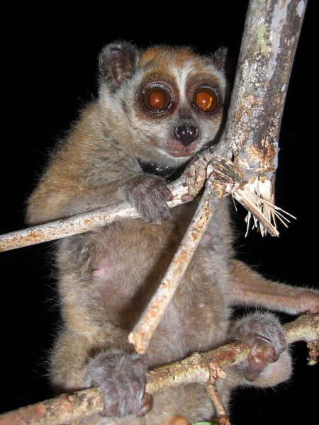 Pygmy Slow Loris photo