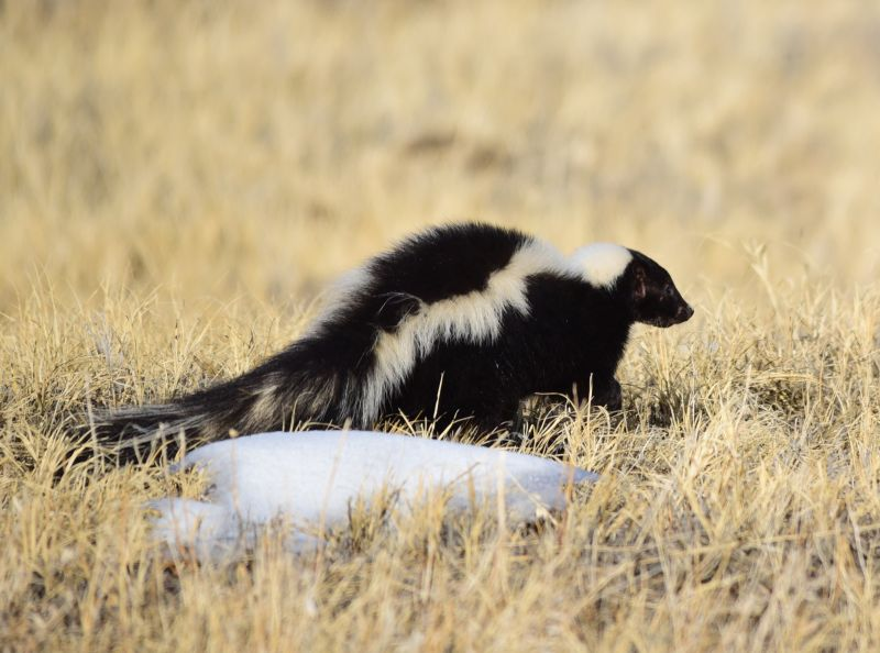 Striped Skunk photo