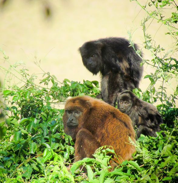Brown Howler photo