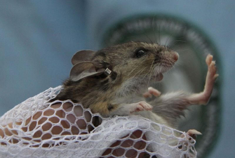 6. Florida Mouse - Tagged