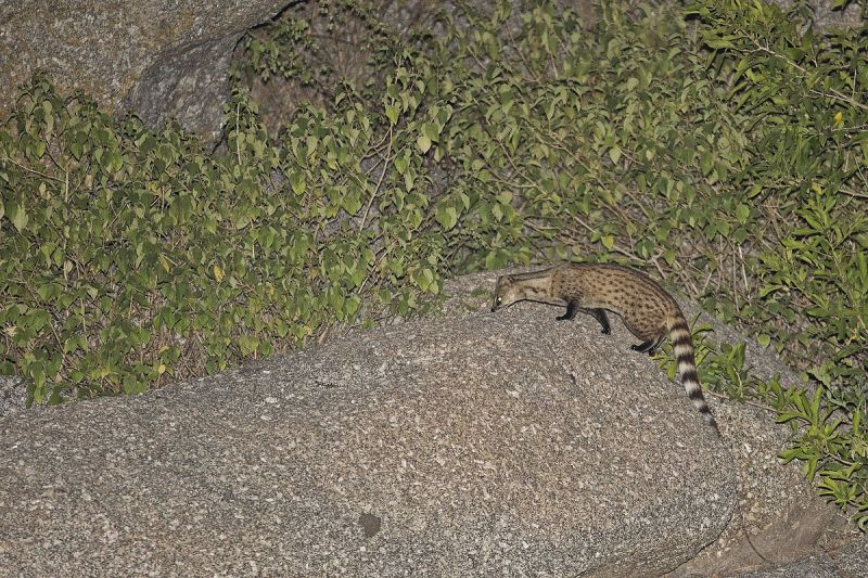 Small Indian Civet photo