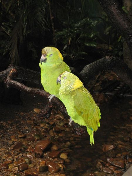 Yellow-Naped Amazon photo