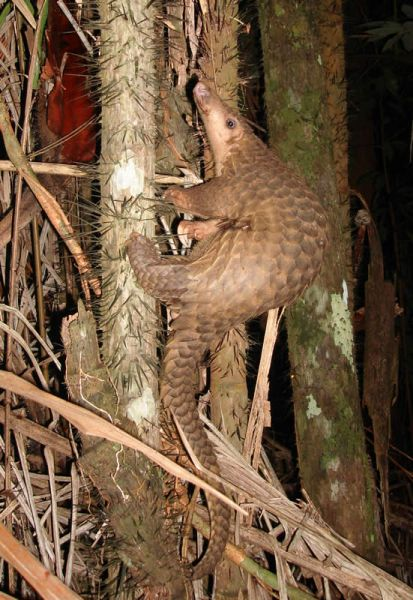 Sunda Pangolin photo