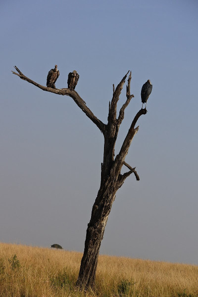 Rüppell's vulture photo