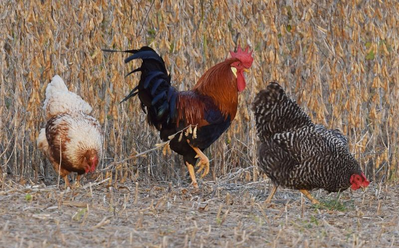 Red Junglefowl photo