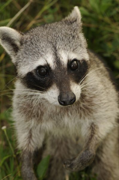 Cozumel Raccoon photo