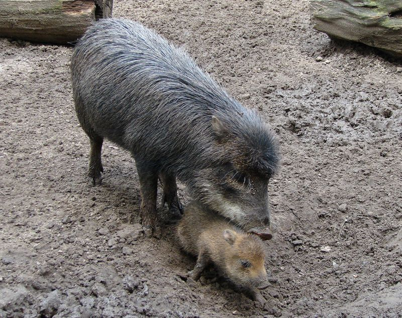 White-Lipped Peccary photo