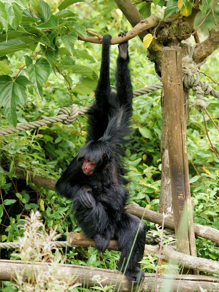 Red-Faced Spider Monkey photo