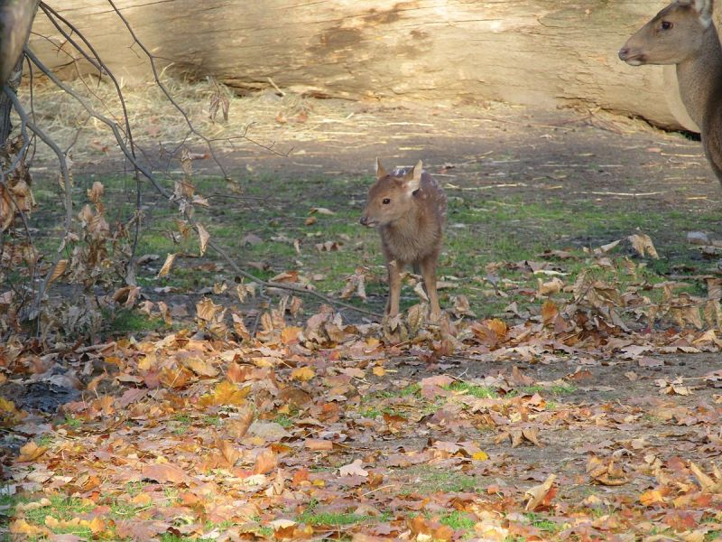 Père David's Deer photo