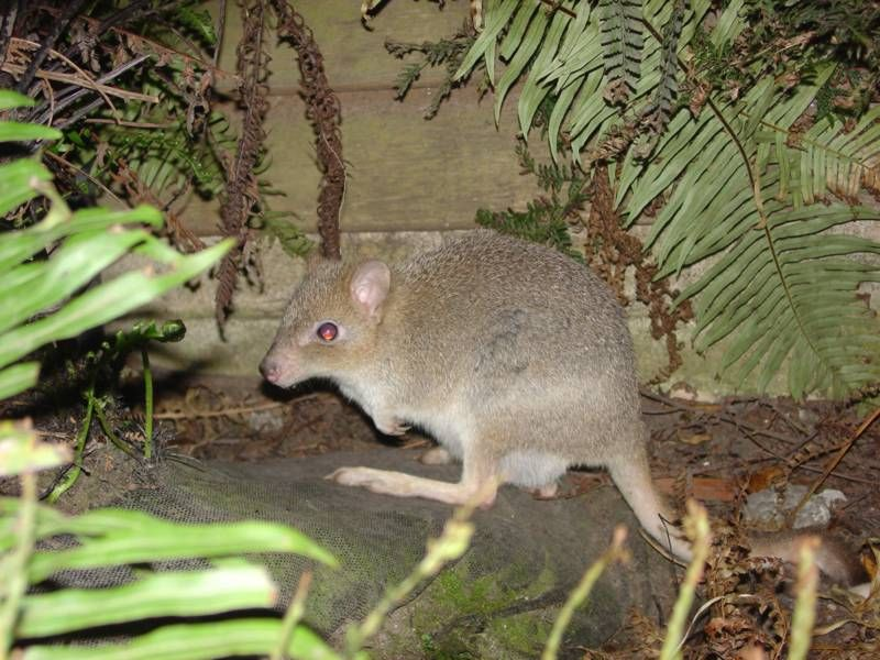 Eastern Bettong photo