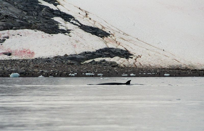 Antarctic Minke Whale photo