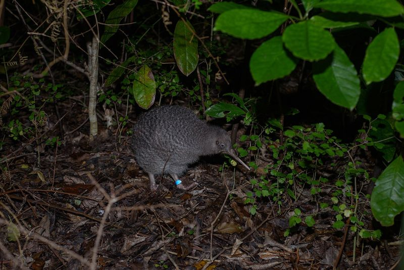 Little Spotted Kiwi photo