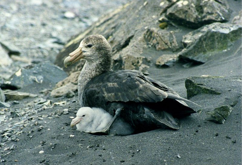 Southern Giant Petrel photo