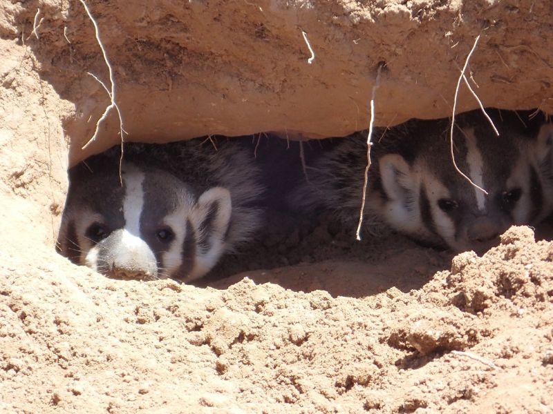American Badger photo