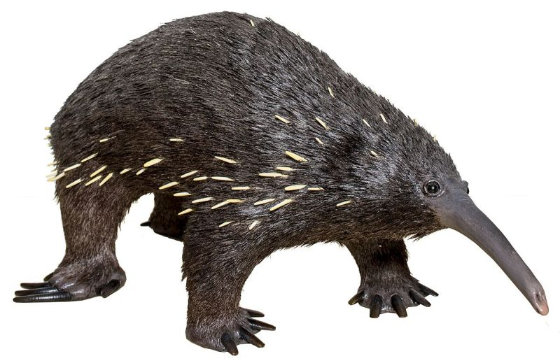 Eastern Long-Beaked Echidna photo