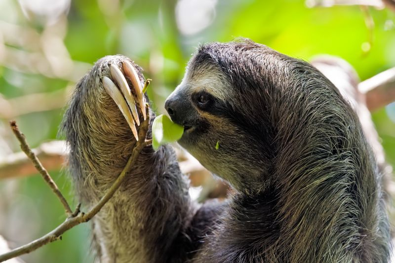 Brown-throated sloth feeding